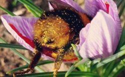 【天使】花粉まみれのおしりを出したまま寝落ちしちゃうマルハナバチが可愛すぎる