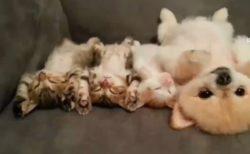 子猫と子犬が仰向けで寝てる姿に癒される