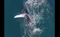 【迫力】ザトウクジラが水と戯れるシーンが神々しいと話題に。雄大だな〜