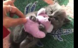 【癒やし】絶対にぬいぐるみを離さないネコ VS 飼い主の壮絶な戦い!