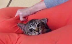 【キジトラ】「うちの猫がハマってる遊びが可愛い」とのことですが、本当にその通りでした!