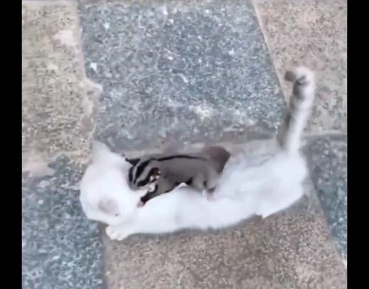 【感動】モモンガ VS. 猫の戦い・・・かと思いきや最終的に仲良しに!