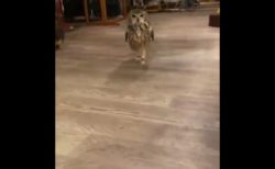 【爆笑】おもむろに「二本足」で走ってくるミミズクがシュール過ぎる!