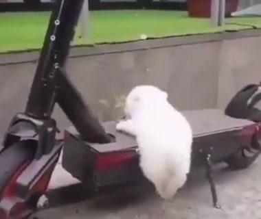 【子犬】どうしても人間の乗り物に乗りたいワンコが可愛すぎた。足が短いよ!