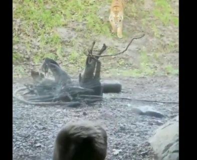【トラ】動物園で繰り広げられる「だるまさんがころんだ」が恐ろしすぎた・・・