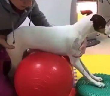 【感動】歩けなかった犬くん。毎日リハビリを頑張った結果、歩けるように!