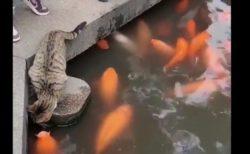 【興味津々】池を泳ぐ「鯉」にどうしても触れたい猫ちゃんが可愛い!