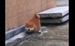【親子】段差を降りる「練習」をする柴犬君が最高に可愛い!
