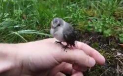 【野生】全く人間を警戒しない「ひな鳥」が話題に。最終的に腕の上へ!