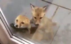 """【癒やし】突如 """"窓の外"""" に現れたキツネの兄弟。あまりの可愛さに悶絶!"""