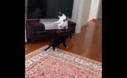 【ジャンプ】カンガルー並みの「跳躍」をみせる猫ちゃんが話題に!