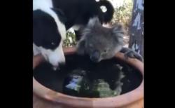 【話題】オーストラリアの火災から避難しているコアラが新しい友達を作った