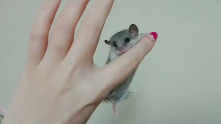 【必見!】指にガシッとしがみつくアフリカヤマネが可愛すぎる
