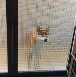 【すりガラス】ゲーム「マインクラフト」のような柴犬くんが発見される!