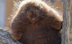 【針】カナダヤマアラシ?という「チクチクの生物」が可愛すぎる。痛いのかな?