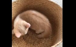 【動画】「グルグル」生まれて初めて自分の尻尾の存在に気がついた子猫が可愛すぎると話題に