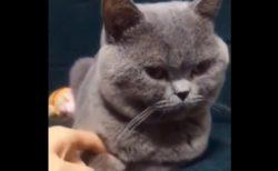 【えぇ?!】あり得ない動きをするツンデレの猫!これはかわいいっ!!