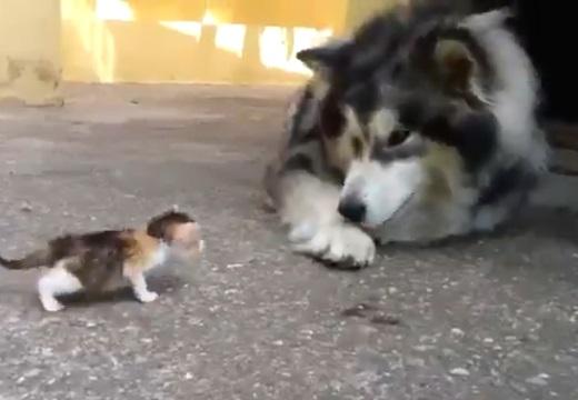 【笑】大きなアラスカンマラミュートが子猫にメロメロ☆どっちもめっちゃ可愛い