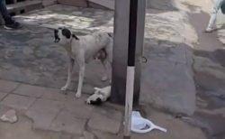 【感動】母犬、重傷を負い歩行困難な子犬のため必死に人を呼ぶ→泣ける結末に
