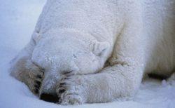 【隠しとかなきゃ】狩りの最中のホッキョクグマが鼻を抑えてる理由が可愛すぎた!