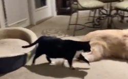 【おやすみタイム】猫、おもむろに立ち上がりゴールデンの元へスタスタ→となりでボテーン