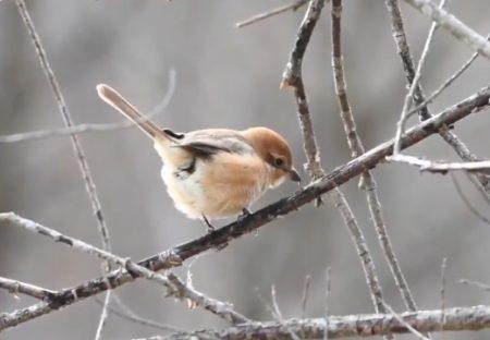 【動画】小鳥が21秒間しっぽフリフリするだけ・・ずっと見ていられる可愛さ