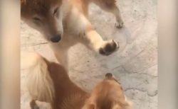 【動画】「ぎゃああああ」予想外の拒否を受けてびっくりする芝犬のリアクションが面白すぎる!