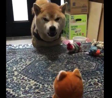 【バトル】「声真似をするぬいぐるみ」VS.「真似させる柴犬」