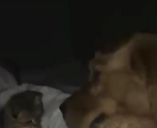 【戯れ】赤ちゃん猫による「小さなパンチ」が可愛い。怒らない犬も最高!