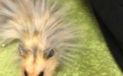 【帯電】静電気バッチバチになった「ハムスター」が可愛すぎる。ツンツン!