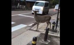 【天才】横断歩道でしっかり止まり、意気揚々と渡るシカが賢すぎる!