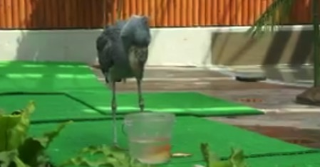 【動物園】餌を食べるのが「鬼下手」なハシビロコウが可愛すぎた!