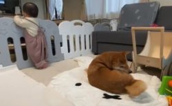 【ビクッ】階段から落ちる夢でも見たか?この現象は犬でも起こる模様!