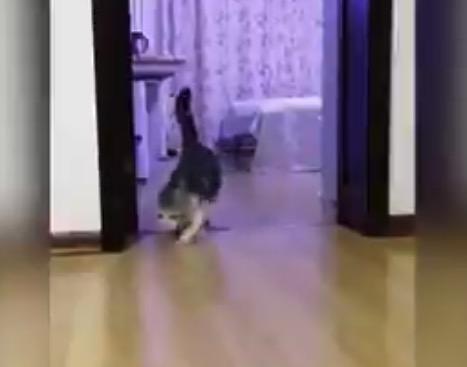 【猫ちゃん】飼い主が見えない「透明な壁」を飛び越えたときの反応が可愛い!