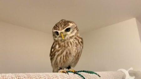 【激かわ動画】甘えん坊のフクロウにネット民メロメロ