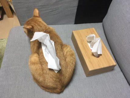 【違和感なし】ティッシュケースに見える猫をご覧ください