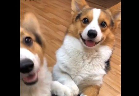 【なかよし】めっちゃ笑顔のコーギー達!見てるだけで元気になった