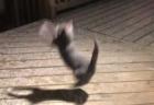 【お茶目】自分の「ジャンプ力」を把握できてないキツネが鬼可愛い!