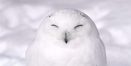 【話題】シロフクロウがめちゃくちゃ可愛いと話題に! いろんなポーズを見せてくれる