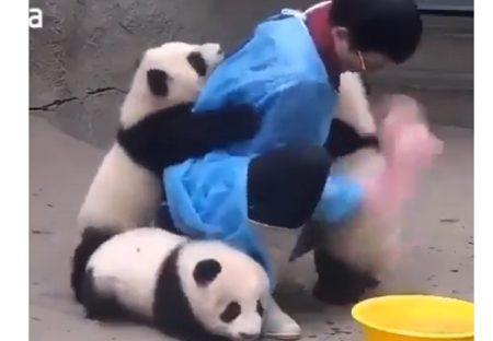 【パンダまみれ】飼育さんに群がるパンダたち!こんな仕事してみたい?!