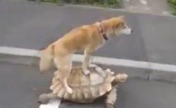 【浦島太郎?】ゆっくり歩く大きな亀の上で踏ん張って立ってるわんこがすごくシュール
