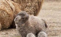 【16000イイネ】ふわもこが激かわ!ラクダの赤ちゃんが話題「初めて見た!」「コロコロかわいい」