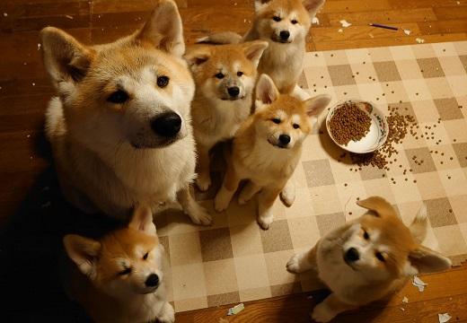 【秋田犬】いたずらを怒られ、反省の表情の母さん犬と子犬達。そんな表情で見つめられるとにやけちゃう