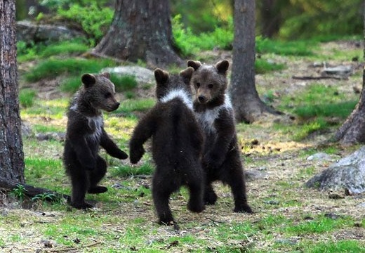 【童話みたい】3匹の森のこぐまさん達。輪になって楽しそうに踊る様子が激写される