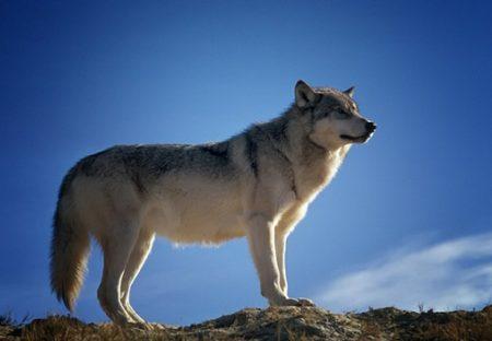 【感動】命がけで野生のオオカミを救おうとする男性と、途中から理解するオオカミ