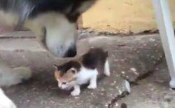 【萌え】赤ちゃん猫VS犬くん。これは勝てませんわ・・・