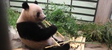 【デイパン】臨時休園中の上野動物園が「ジャイアントパンダ」の様子を流してくれてるぞ!