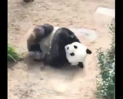 【動物園】まるで「おむすび」みたいな配色のパンダが話題に。尊いぞ!