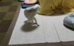 【猫ちゃん】自分のしっぽで遊んでるところを友達に目撃された〜
