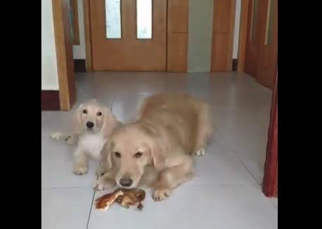 【感動】極上の「ごちそう」を子供に譲るママ犬が凄い!